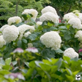 Hydrangea arborescens Strong Annabelle